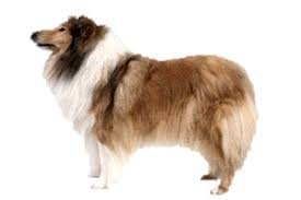 Collie ( Rough Collie )