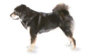 Tibet Mastiff