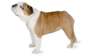 İngiliz Bulldog