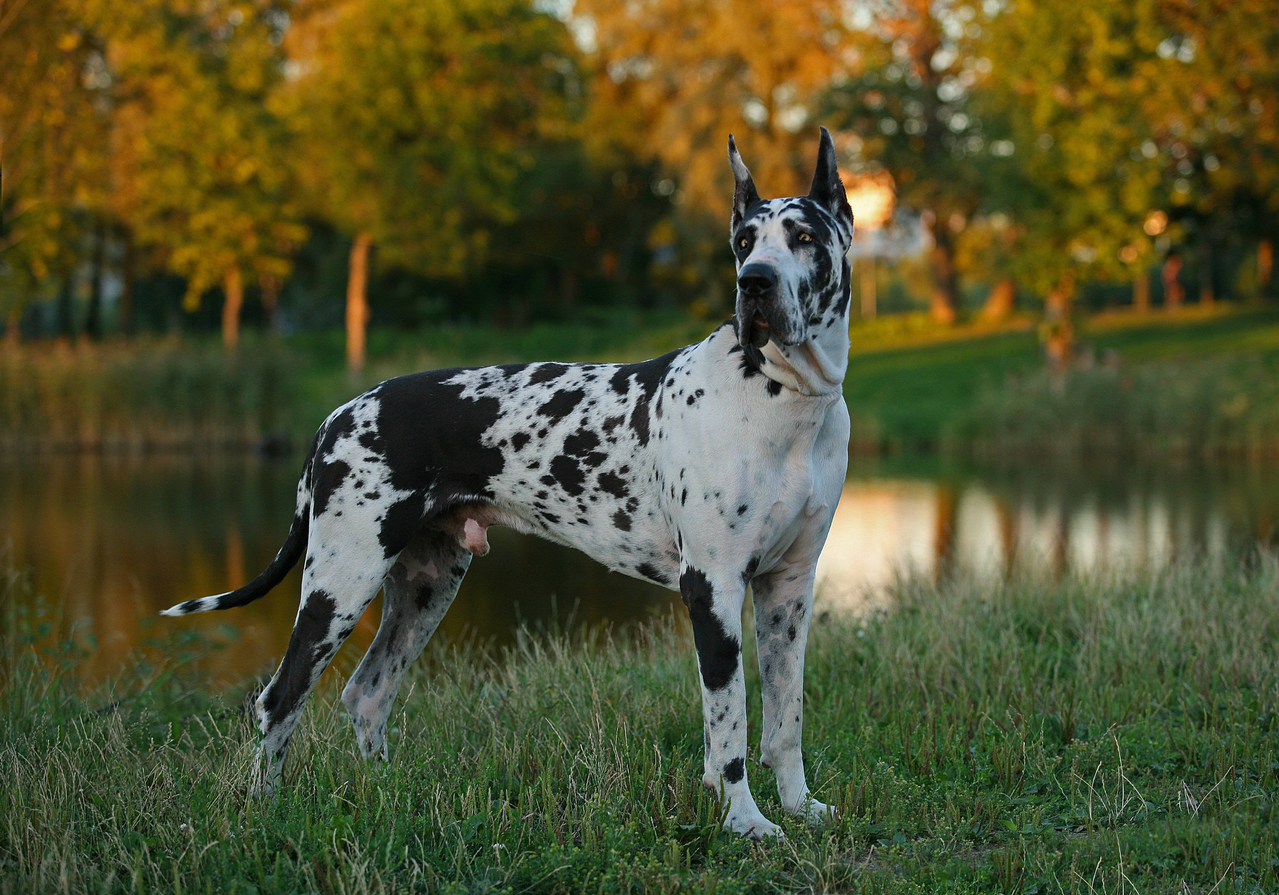 Great Dane- Danua