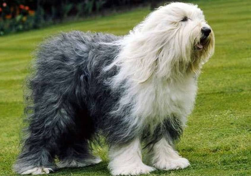 Old English Sheepdog ( Bobtail )