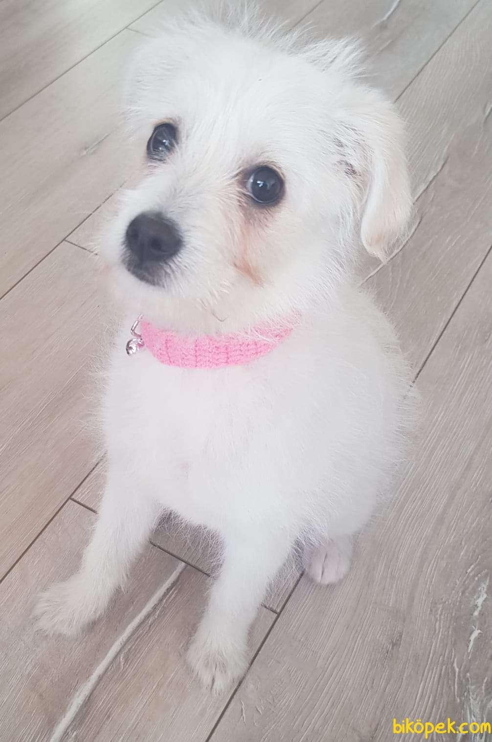 0 Numara Terrier Bebekler 4