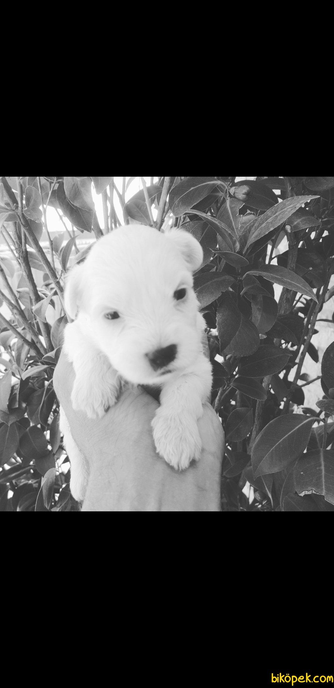0 Numaralı Maltese Terrier Yavruları 4