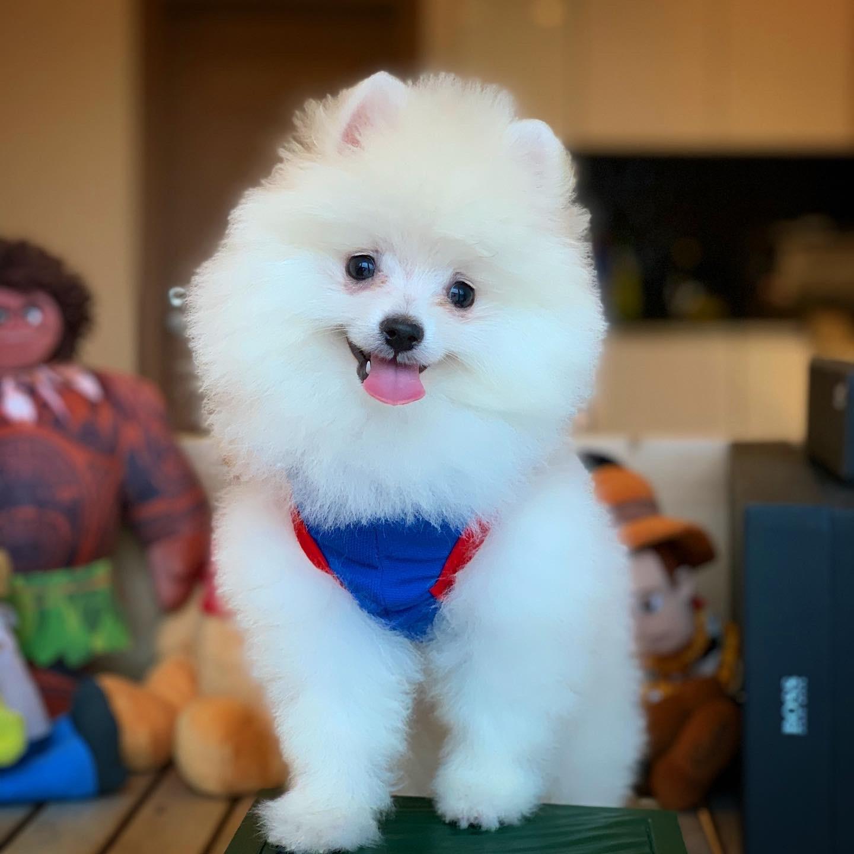 Kar Beyazı Gülen Surat Pomeranian Oğlumuz 1