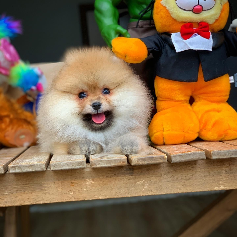 MiniBoy PomeranianBoo Kızımız 2