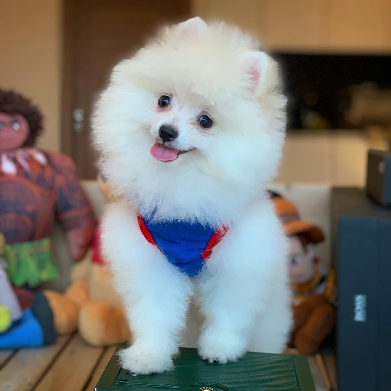 Kar Beyazı Gülen Surat Pomeranian Oğlumuz 5