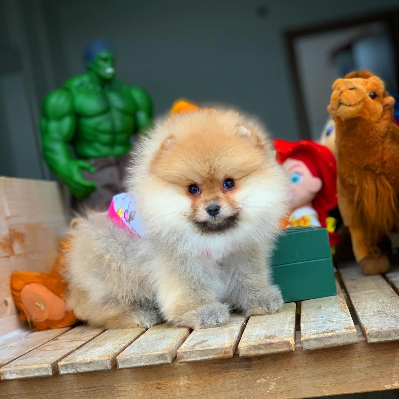 MiniBoy PomeranianBoo Kızımız 3