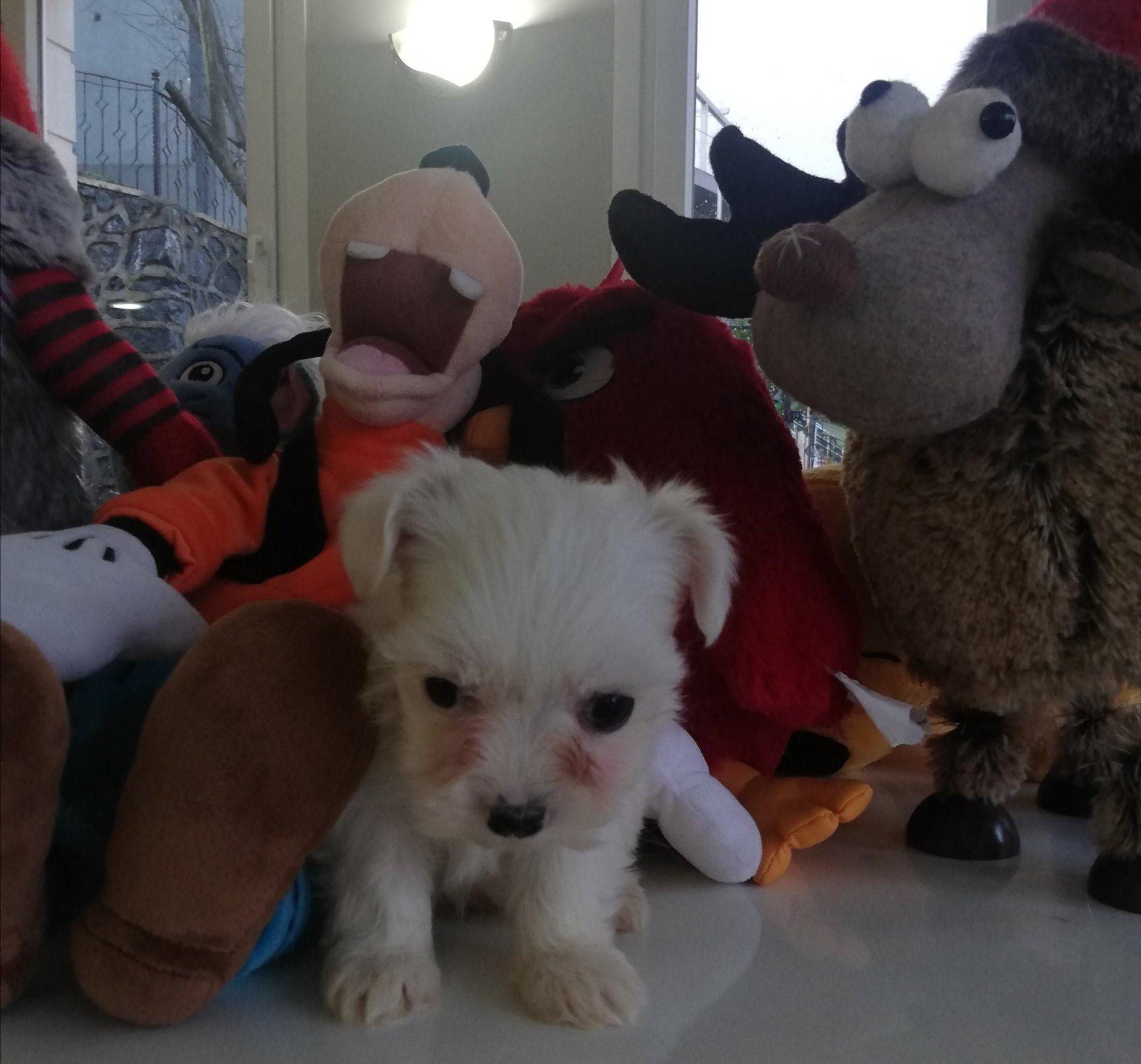 Yavru Maltese Terrierler 4