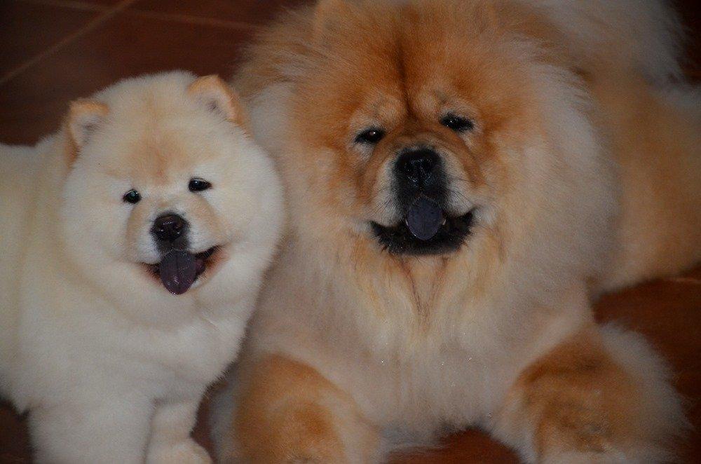 Beyaz Kızıl Chow Chow Çin Aslanı Yavruları 2