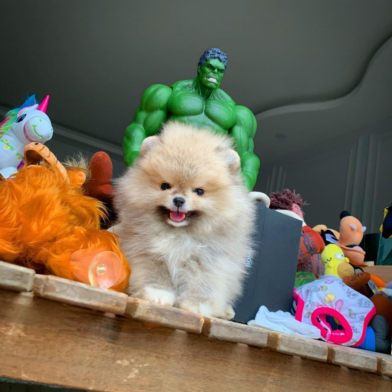 Show Kalite PomeranianBoo Yavrumuz 3