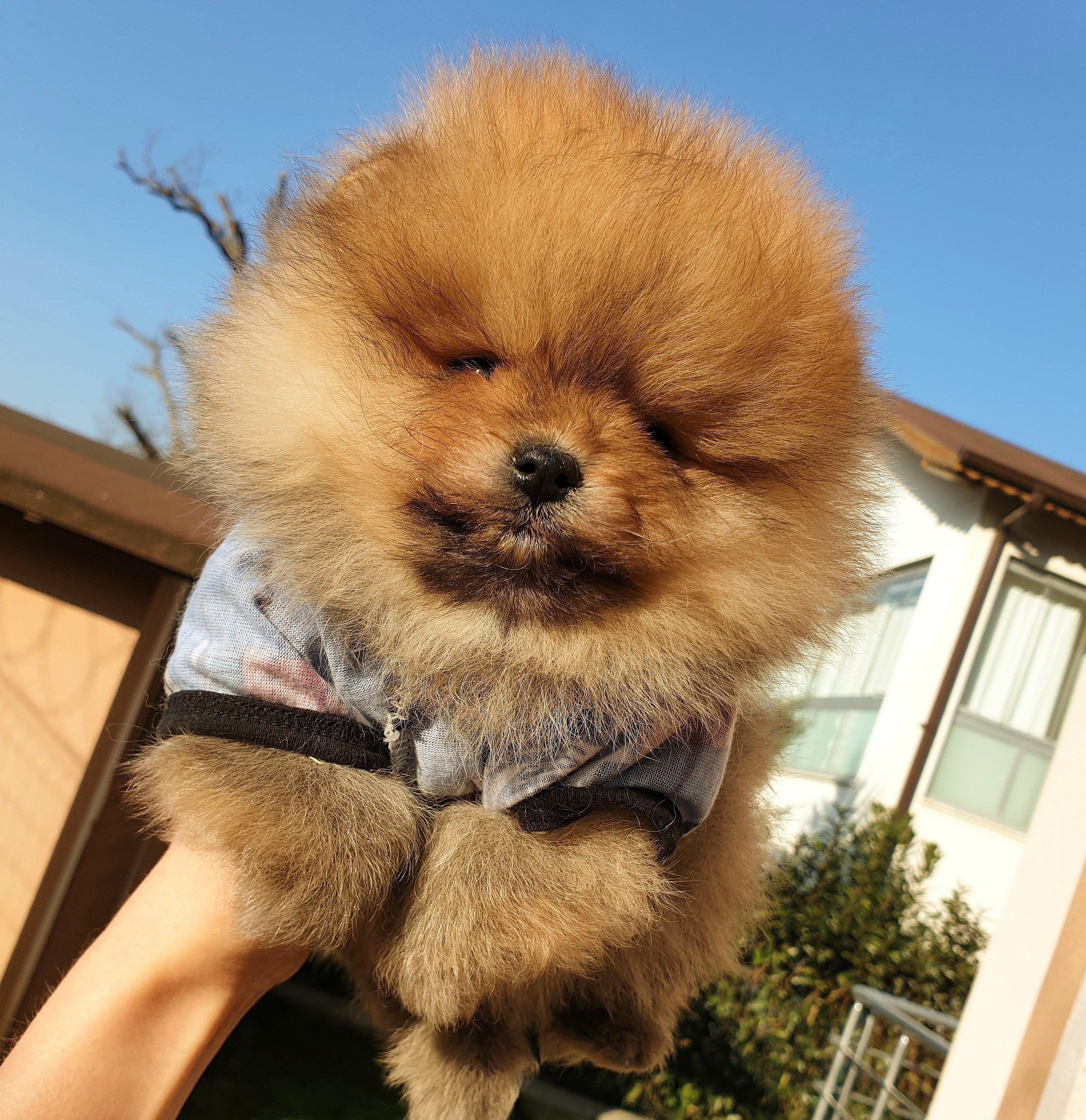 Satılık Pomeranian Boo Teddy Bear Yavrular 3