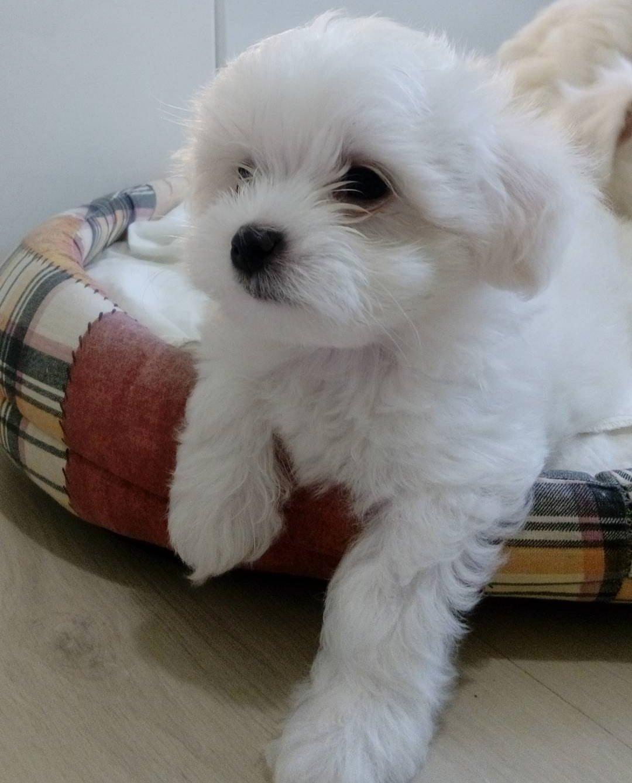 Maltese Terrier Bebekler 1