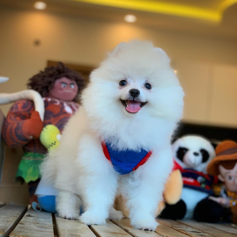 Kar Beyazı Gülen Surat Pomeranian Oğlumuz 2