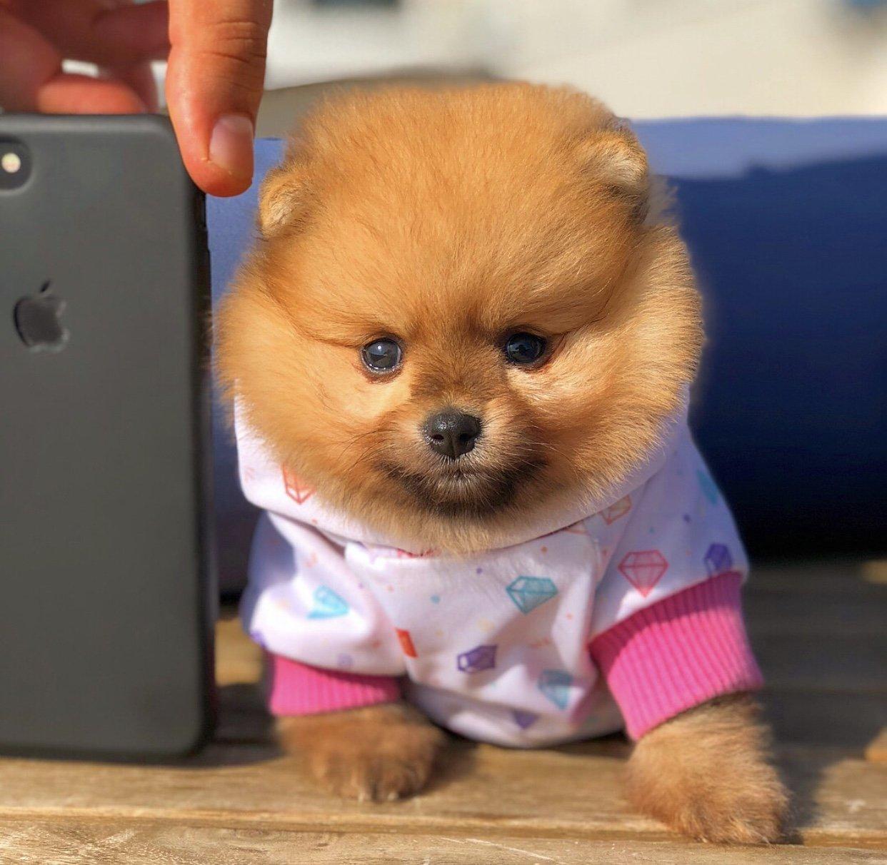 Safkan Secereli Gülen Surat Pomeranian Yavrumuz 1
