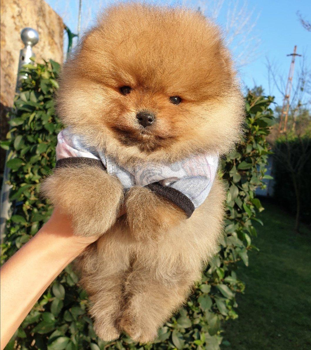Satılık Pomeranian Boo Teddy Bear Yavrular 2