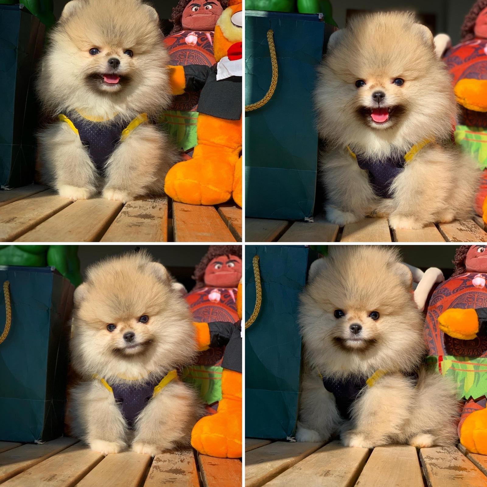 Show Kalite PomeranianBoo Yavrumuz 1