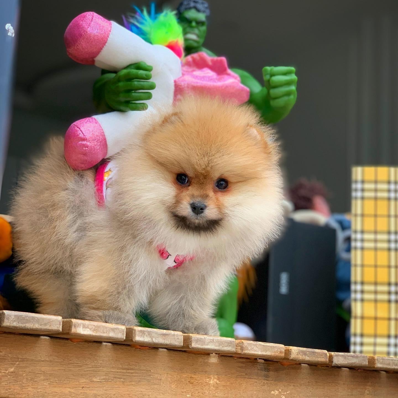 MiniBoy PomeranianBoo Kızımız 5