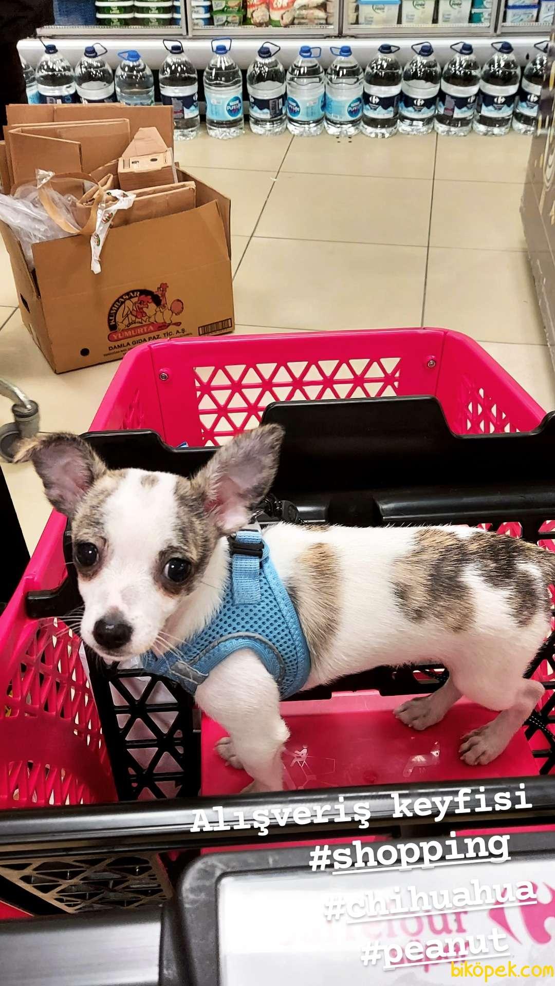 6 Aylık Eğitimli Chihuahua (Peanut) 2