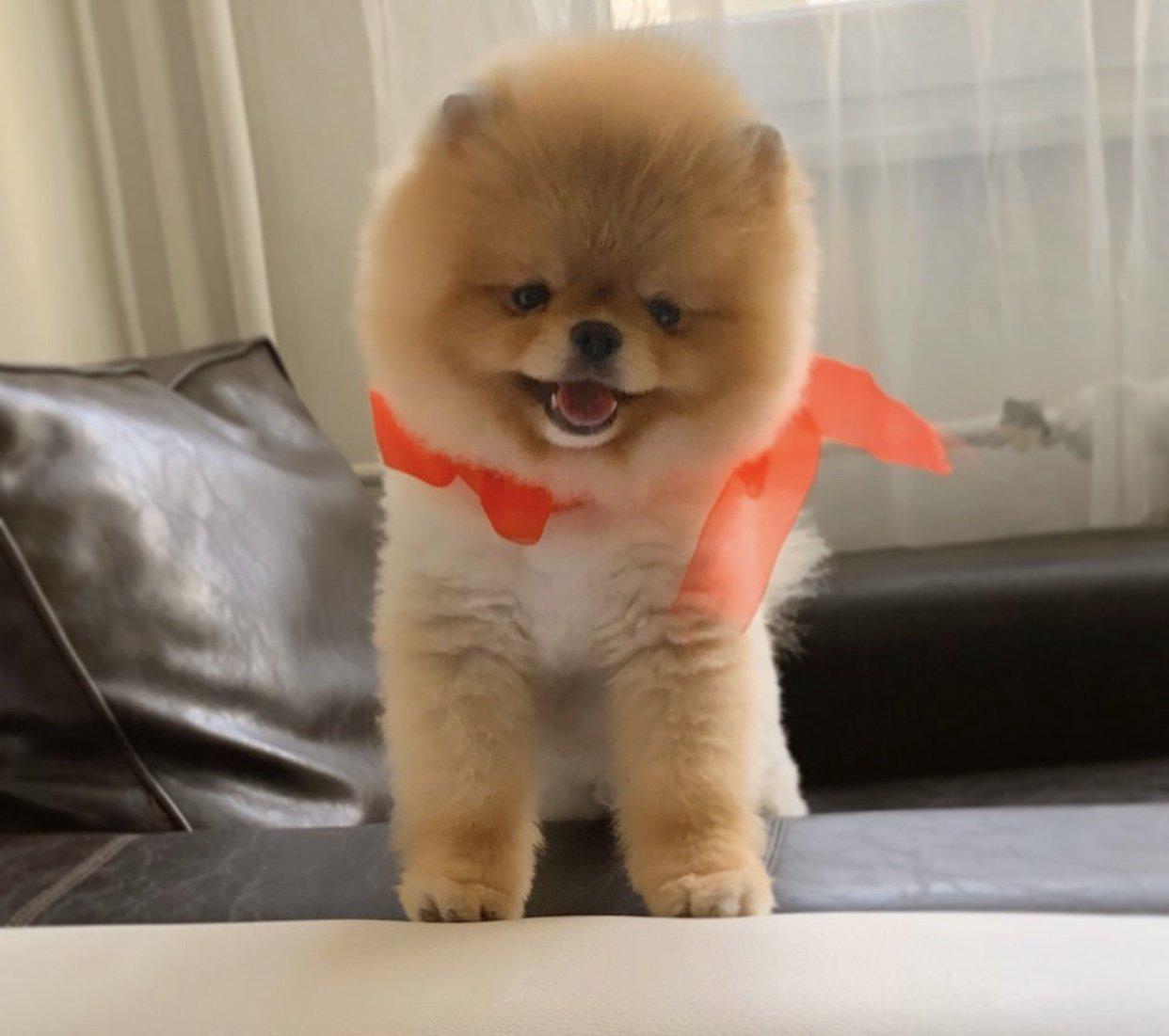 Showkalite PomeranianBOO Secereli Erkek 2