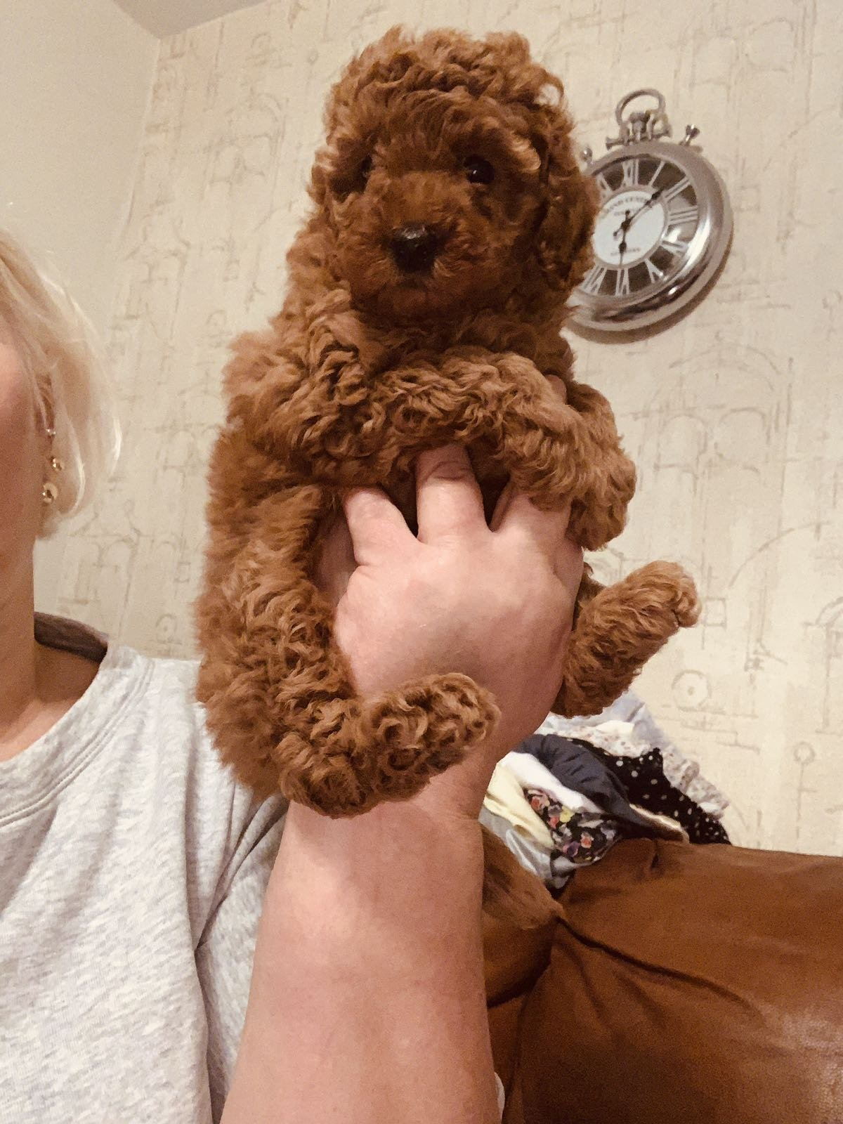 TOY POODLE RED VE DARK RED YAVRULAR 2