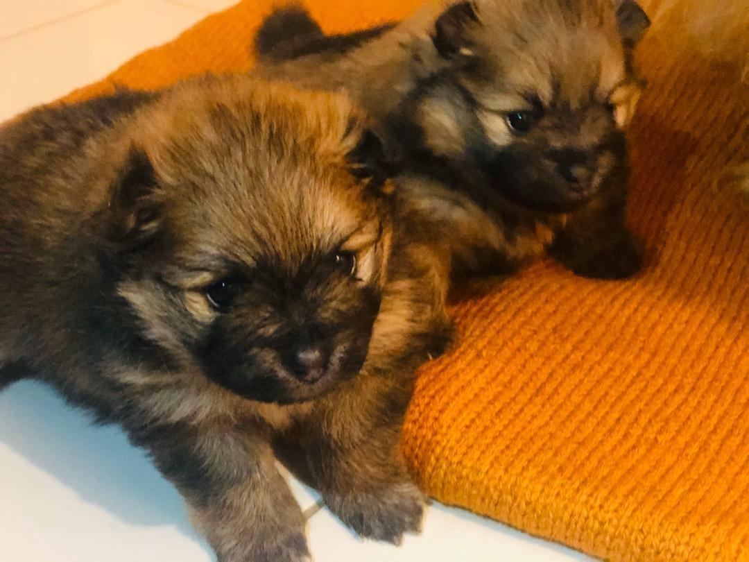 Pomerenian Yavruları 4