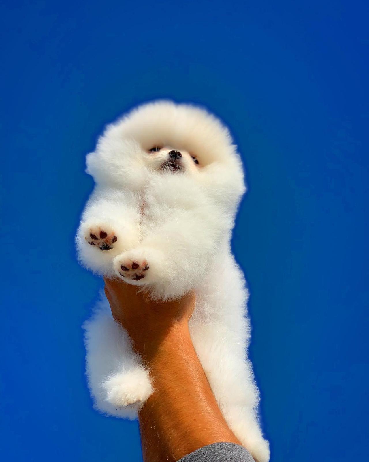 Orjinal  Teddybear Yüz Yapısına Sahip Pomeranianboo 4