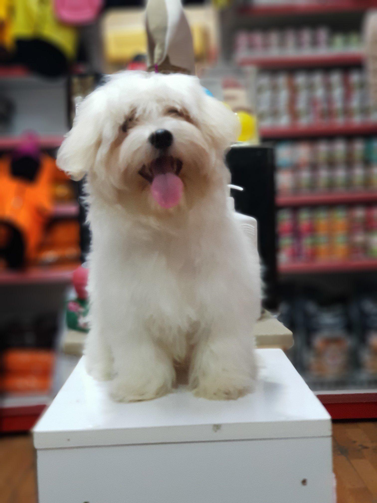 Orjinal Maltese Terrier 3