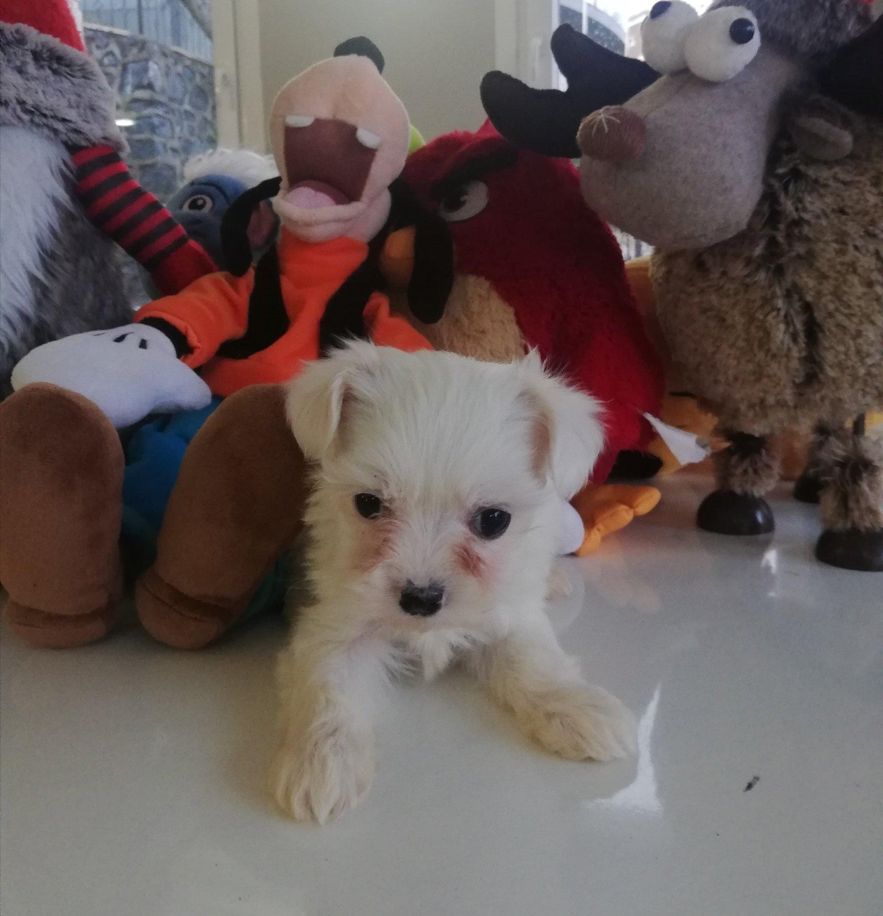Yavru Maltese Terrierler 2