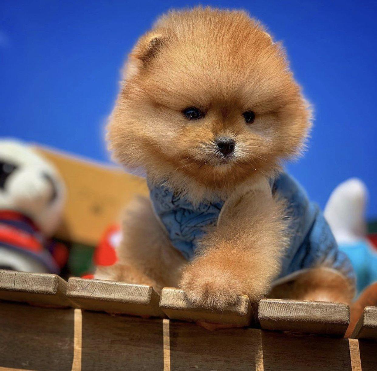 Yarışma Düzeyi Pomeranianboo Yavrularımız 3