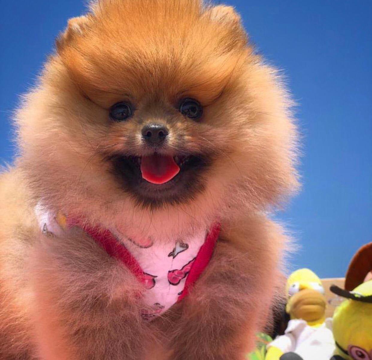 Safkan Irk Garantili Pomeranian Yavruları 4
