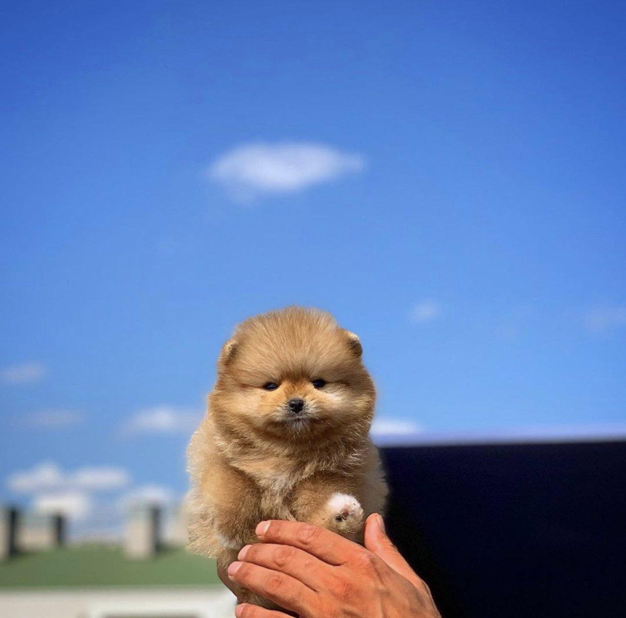 Yarışma Düzeyi Pomeranianboo Yavrularımız 2