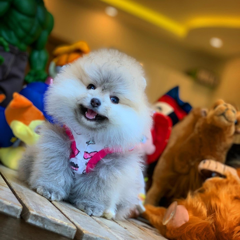 Muhteşem Kalitede Olan Pomeranian Boo Yavrularımız 1