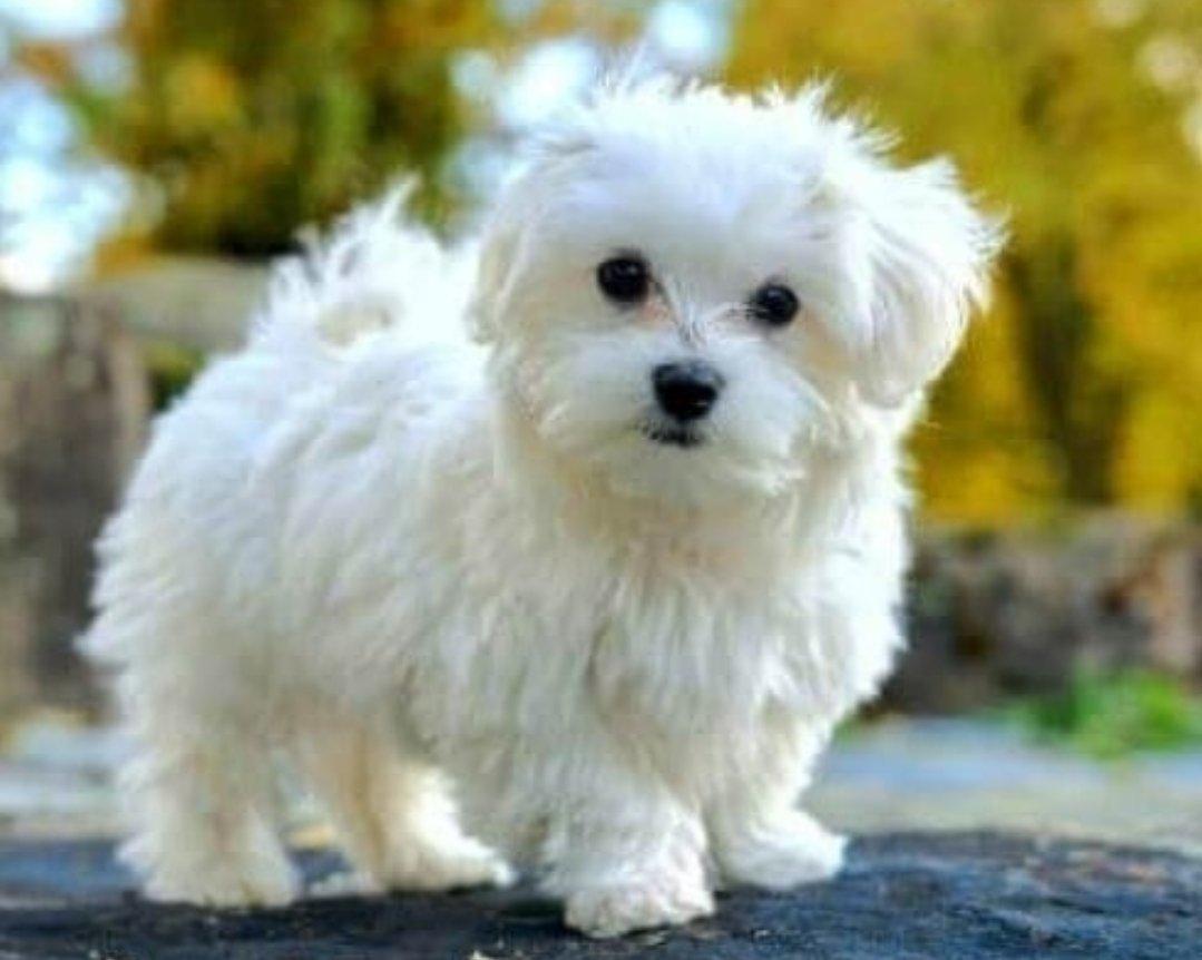 Scr Belgeli Maltese Terrier 1