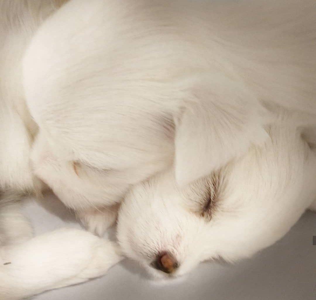 A Kalite Maltese Terrier Yavrularımız 1