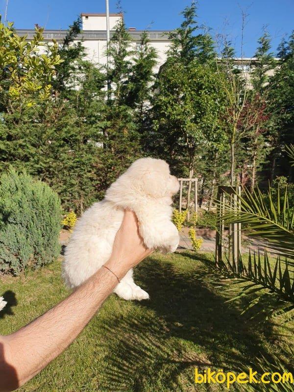 A Kalite Maltese Terrier Yavrularımız 2