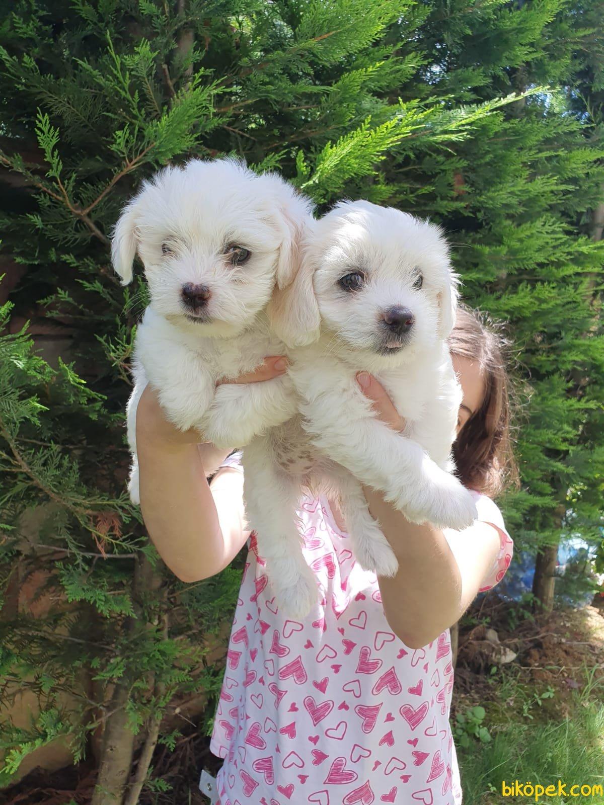 A Kalite Maltese Terrier Yavrularımız 3