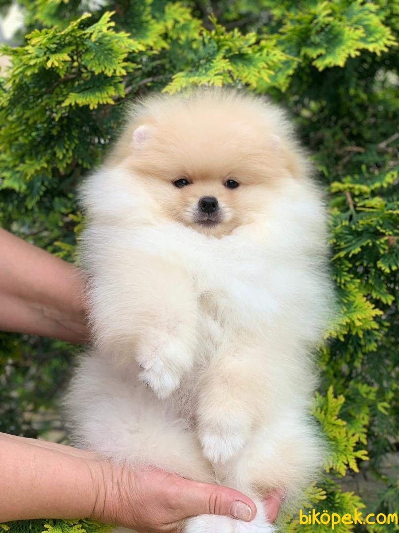 A Kalite Pomeranian Yavrular 1