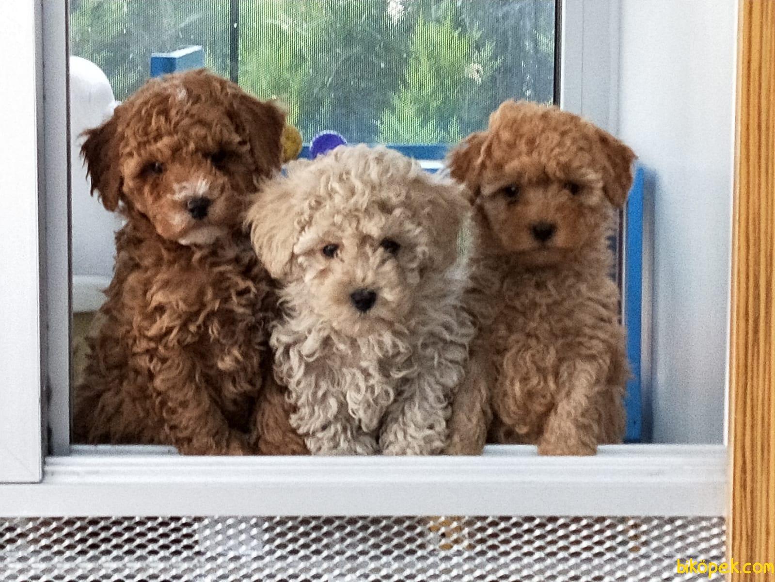 A Kalite Poodle Yavrularımız 2