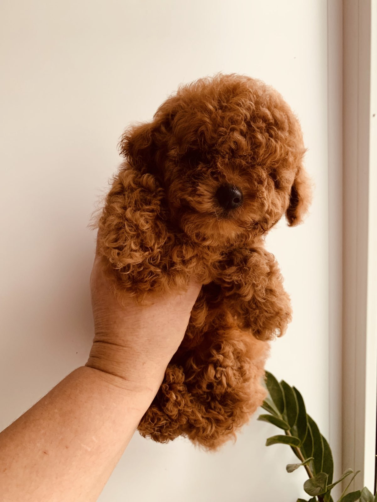 TOY POODLE RED VE DARK RED YAVRULAR 1