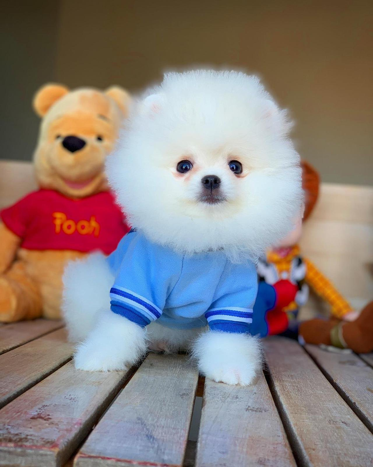 Orjinal  Teddybear Yüz Yapısına Sahip Pomeranianboo 1