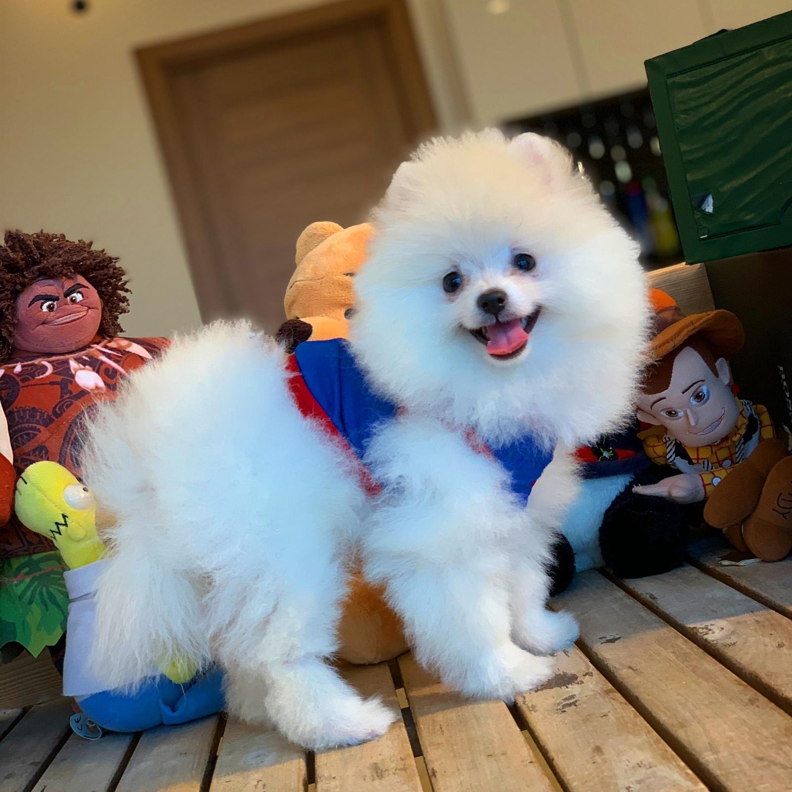 Kar Beyazı Gülen Surat Pomeranian Oğlumuz 3