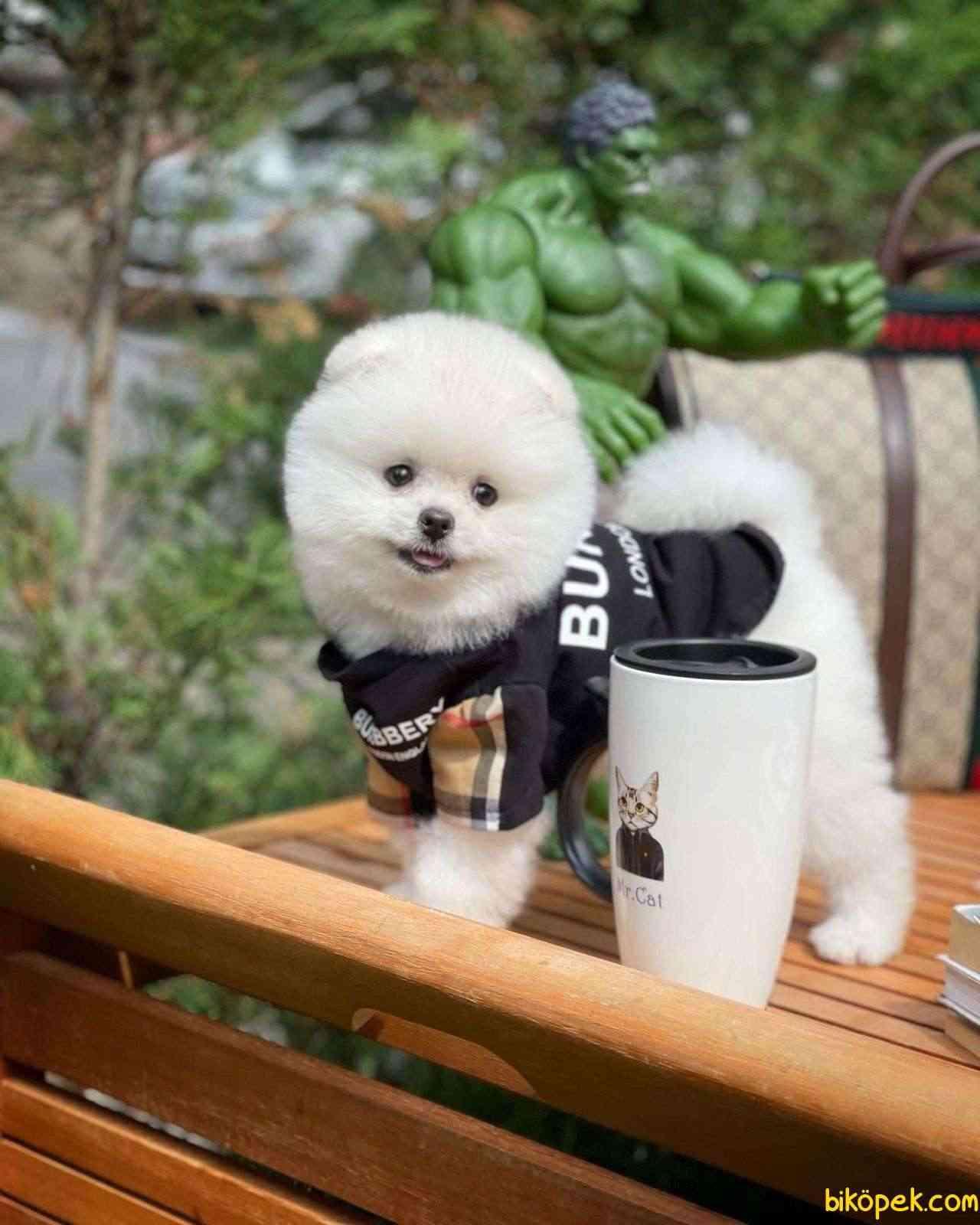 AA Kalite Safkan  Pomeranian Oğlumuz 1
