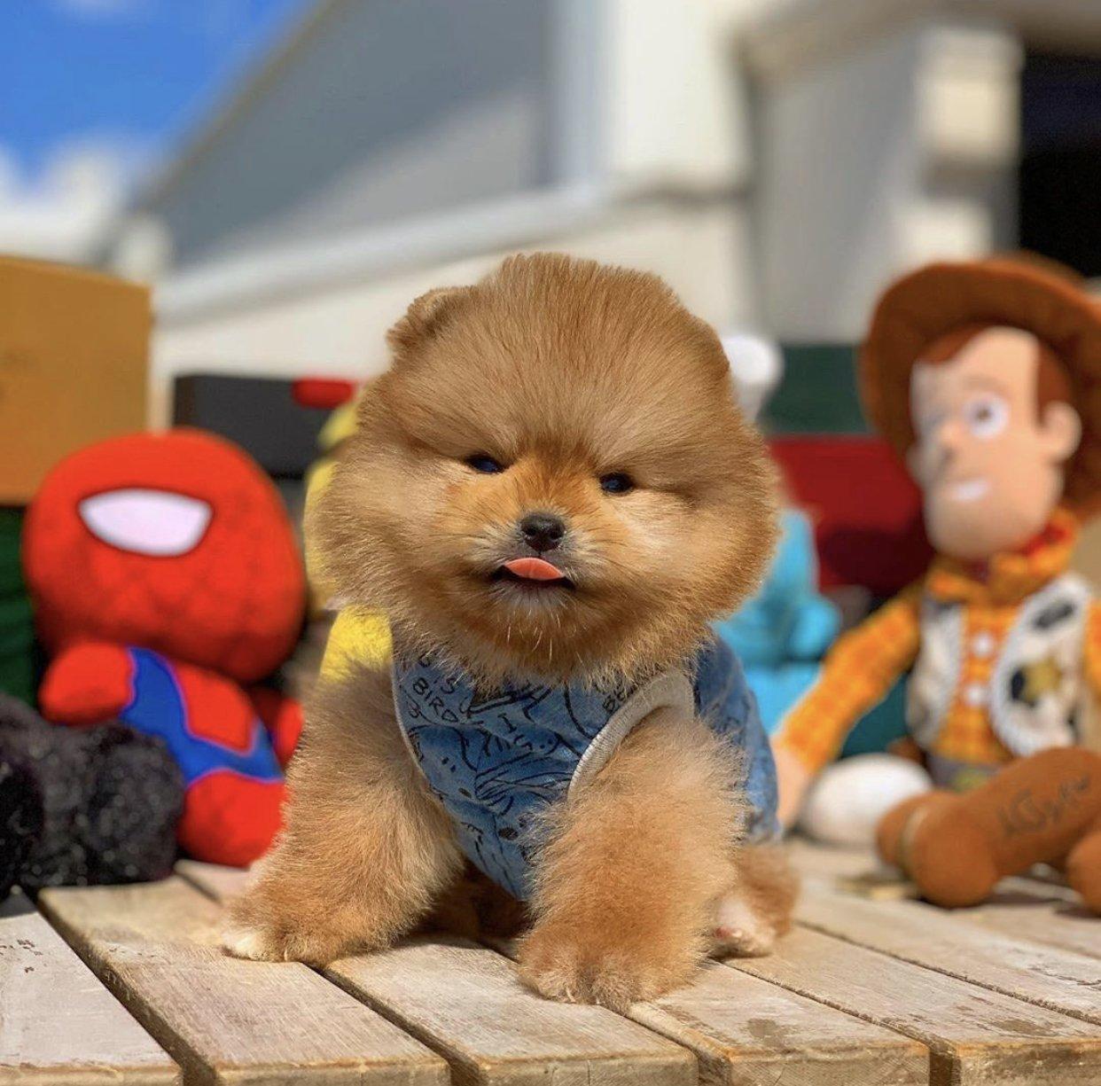Yarışma Düzeyi Pomeranianboo Yavrularımız 4