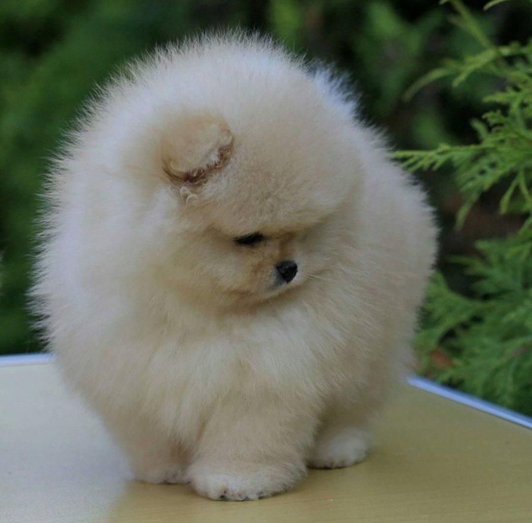 Pomeranian Boo Bebeklerimiz 1
