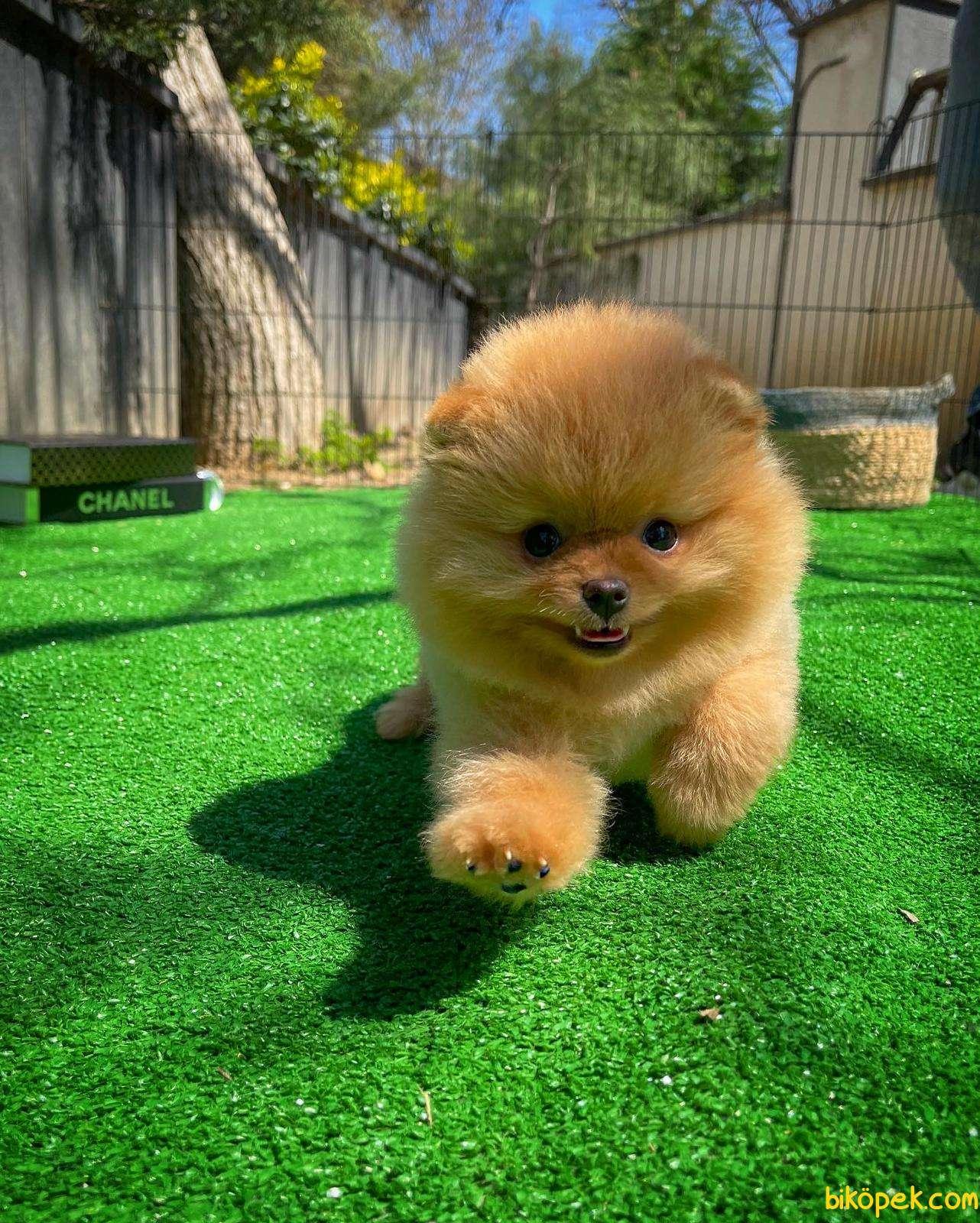 Ayı Surat Pomeranian Boo Yavrularımız 3