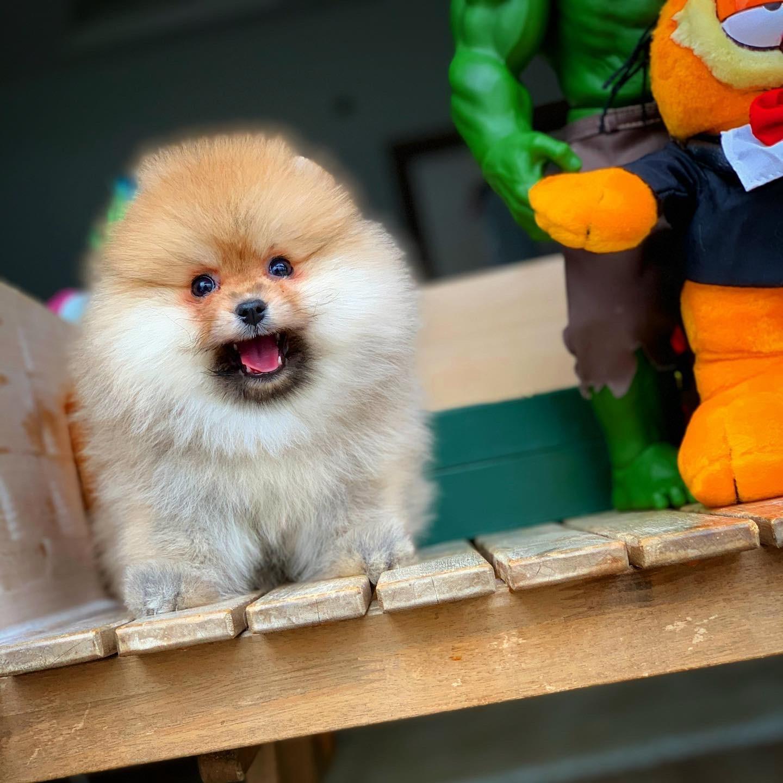 MiniBoy PomeranianBoo Kızımız 4