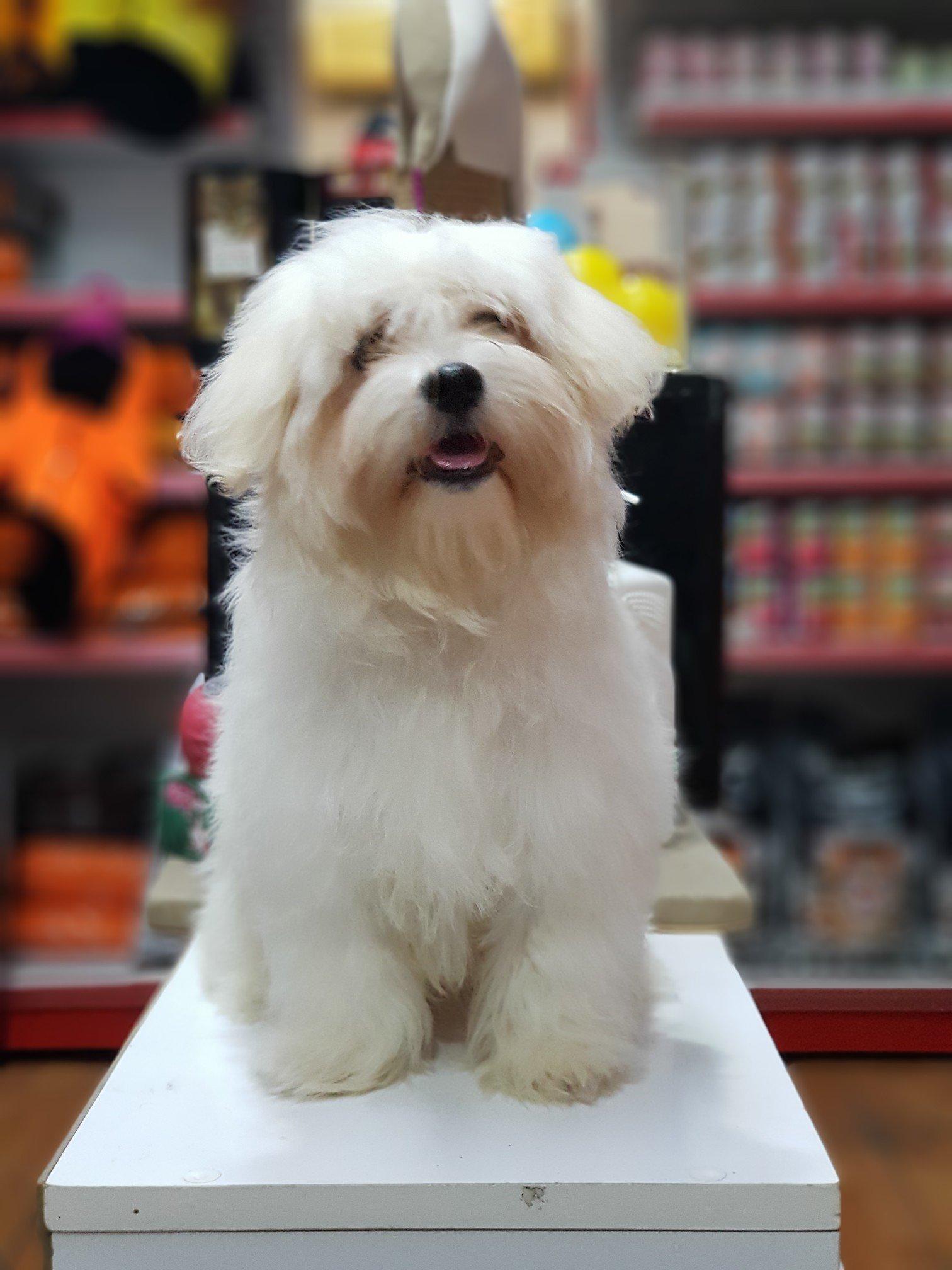 Orjinal Maltese Terrier 2