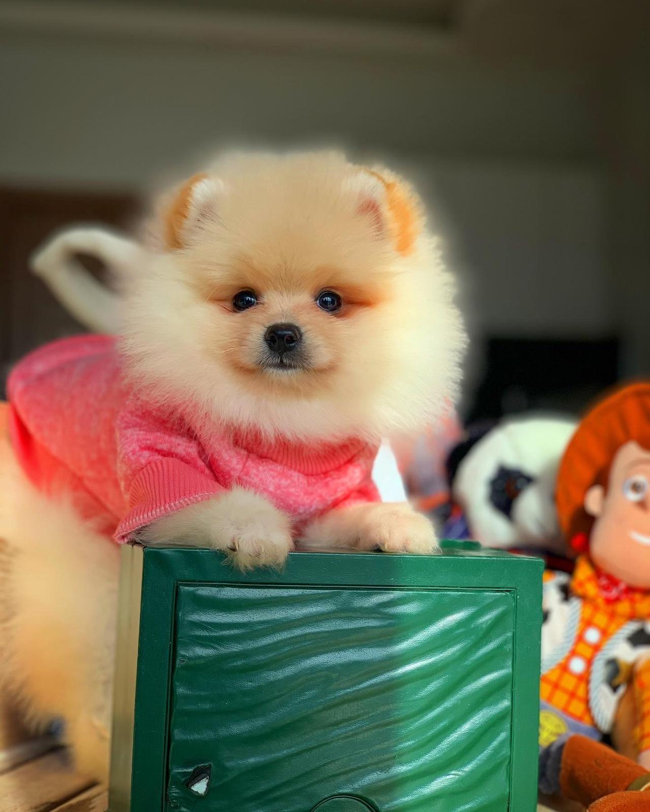 Başlangıç Seviyesi Tuvalet Eğitimli PomeranianBoo 3