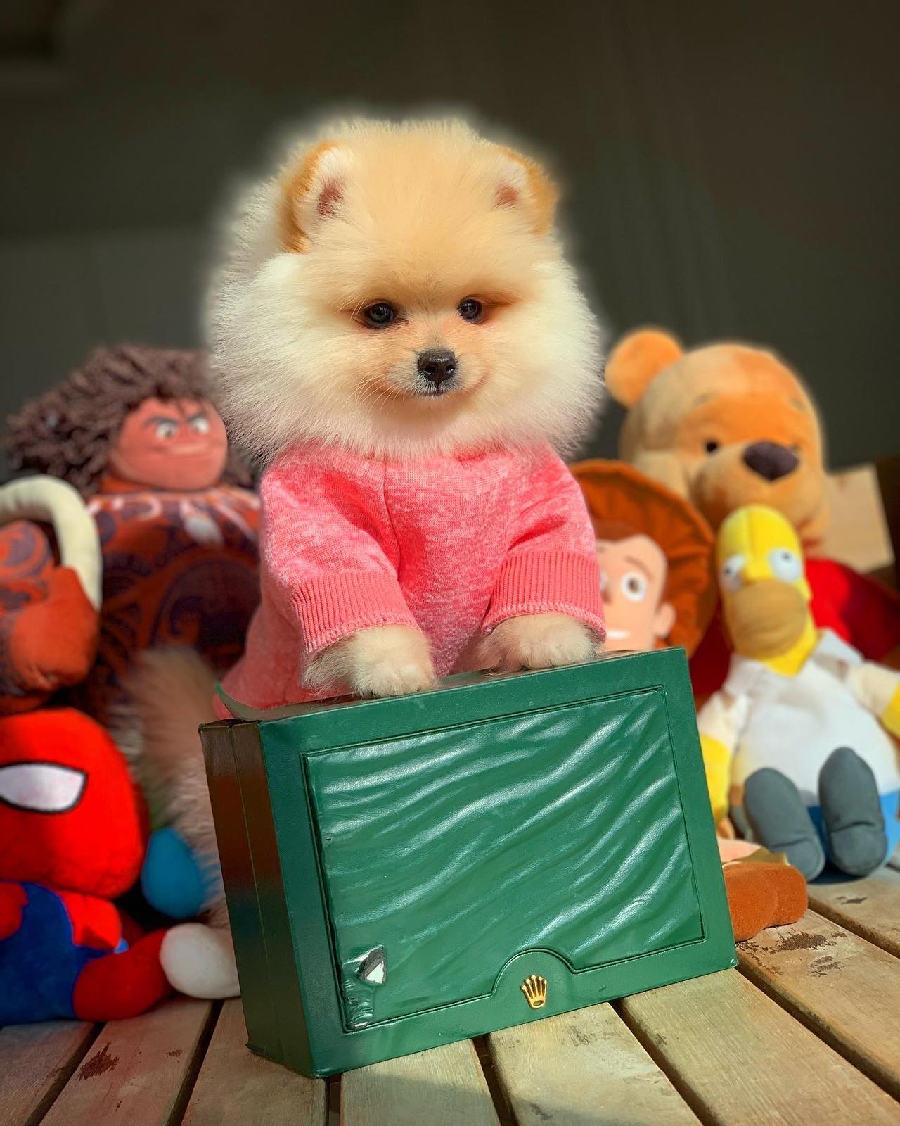 Başlangıç Seviyesi Tuvalet Eğitimli PomeranianBoo 1