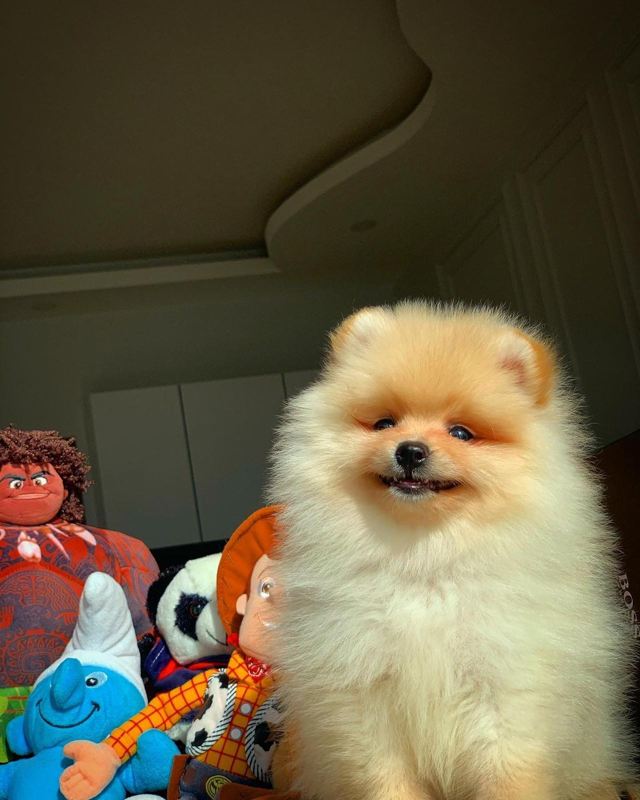 Başlangıç Seviyesi Tuvalet Eğitimli PomeranianBoo 4